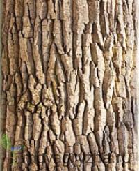 Фото коры дуба